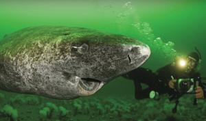 Cá mập Greenland.