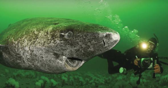 """Cá mập Greenland – Loài """"quái cá 5 thế kỷ"""""""