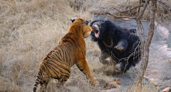 Video: Bảo vệ con, gấu mẹ chiến đấu kịch liệt với hổ dữ. 1
