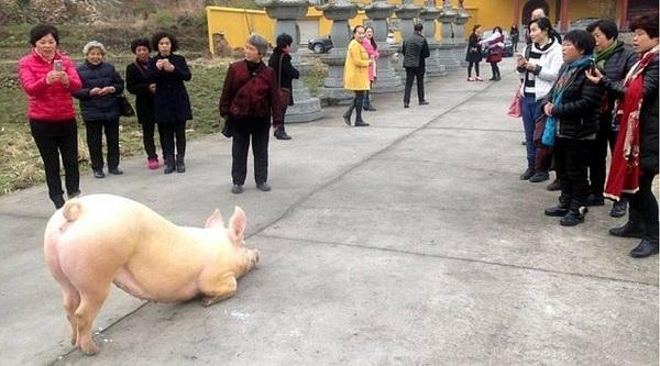 Con lợn khụy hai chân trước cửa chùa (Ảnh: Family)