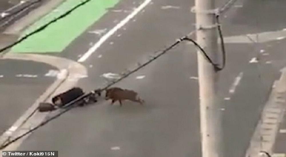 Lợn rừng lạc húc người trên đường phố.(Nguồn: Internet)