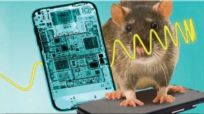 Nghiên cứu cho thấy bức xạ điện thoại di động liên quan tới các khối u ở chuột - H1