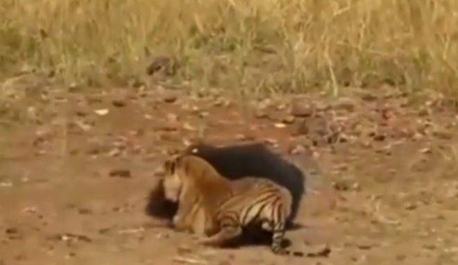Video: Bảo vệ con, gấu mẹ chiến đấu kịch liệt với hổ dữ. 2