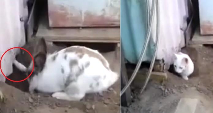 Video: Phát hiện đồng bọn bị mắc kẹt, chú thỏ Chasky đã có một hành động nghĩa hiệp - H1