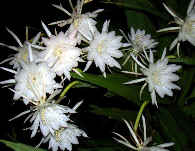 """Hoa quỳnh – loài hoa được mệnh danh là """"nữ hoàng bóng đêm"""" không chỉ sở hữu vẻ đẹp lộng lẫy, hương thơm ngào ngạt mà còn là dược liệu quý chữa đủ bệnh. (Ảnh: Internet)"""