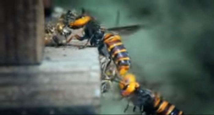 """Video: Bầy ong bắp cày """"kéo binh"""" xóa sổ tổ ong mật đông gấp 1.000 lần.1"""