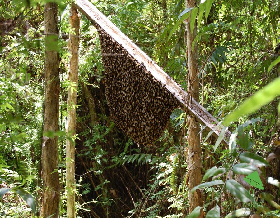 Tổ ong rừng U MInh Hạ. (Nguồn: Internet)