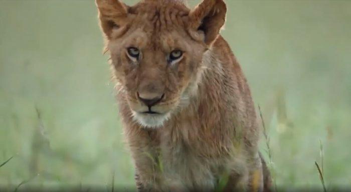 Xúc động cảnh sư tử mẹ lưu luyến rời bỏ đứa con bị trúng độc của mình để bảo vệ đàn.1