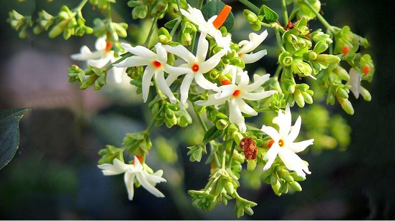 Hoa nhài san hô: Loài hoa thiêng của Ấn Độ. (Ảnh qua aljanh.net)