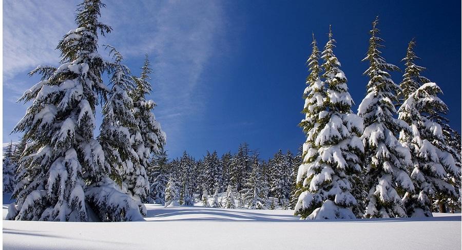 Cây thông: Loài cây thường xanh vĩ đại với nhiều ý nghĩa văn hóa. Ảnh 1