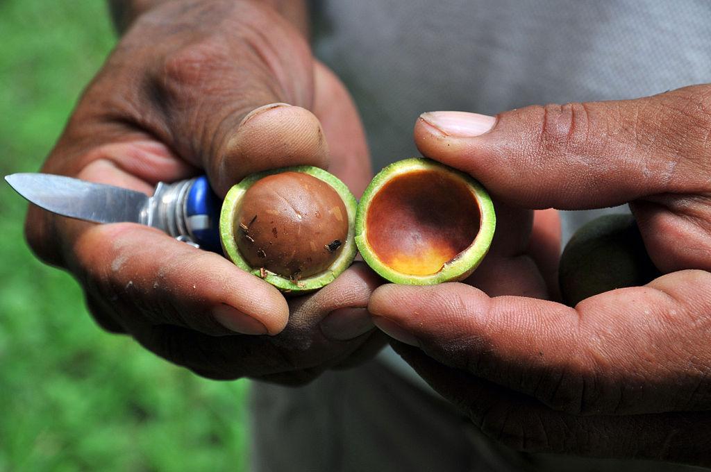 Khi thu hoạch, vỏ và thịt quả macca sẽ bị loại bỏ, chỉ để lại hạt bên trong. (Ảnh qua Wikipedia)