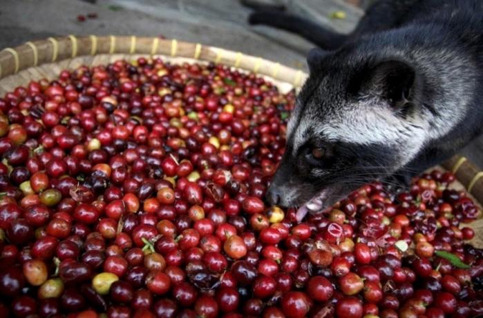 Lý do nào khiến cà phê chồn trở thành thức uống hảo hạng?