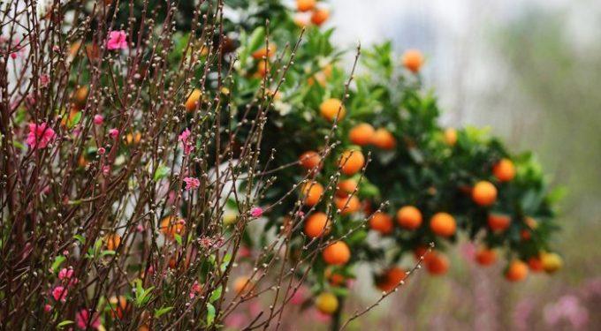 12 loại cây đem lại may mắn cho ngày Tết h1