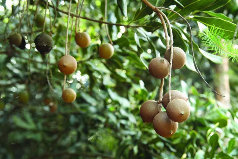 Quả macca sau khi thu hoạch thường bị lột vỏ và thịt, chỉ để lại hạt trước khi đem bán.