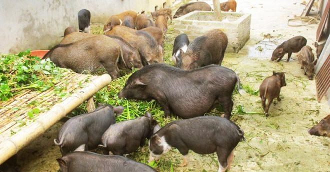 Quy định 'lạ đời' mới ra: Bèo tây, rau chuối… không được dùng trong chăn nuôi.1
