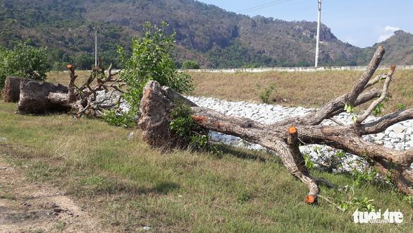 An Giang: Thương lái ồ ạt mua Trâm, dân bứng gốc cây chục năm tuổi đi bán