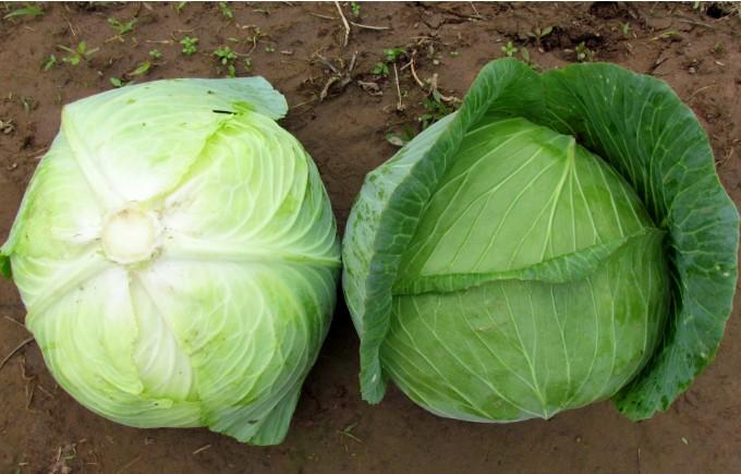 Bắp cải còn có chứa nhiều vitamin U