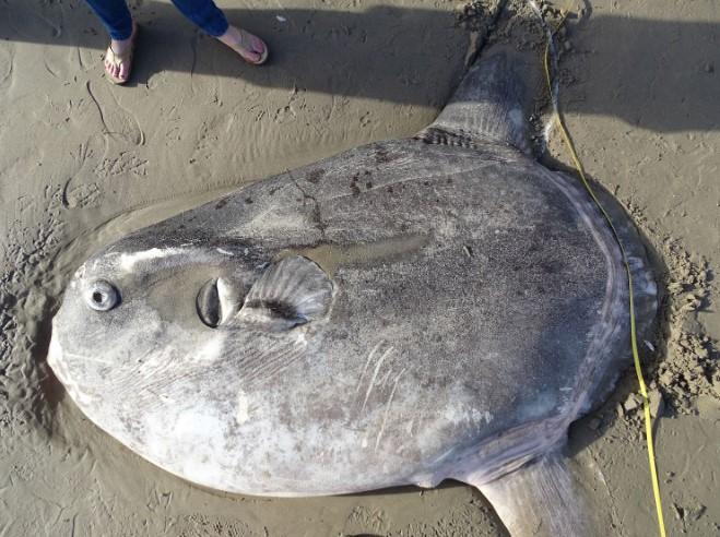 Một con cá mặt trời kỳ lạ nằm dài trên bãi biển California.2