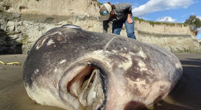 Một con cá mặt trời kỳ lạ nằm dài trên bãi biển California