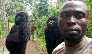 """Hài hước khỉ đột làm dáng chụp ảnh """"selfie"""" với kiểm lâm"""