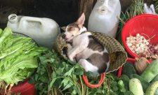 Ảnh em cún theo mẹ ra chợ nhưng lại ngủ lăn quay được thả tim rần rần