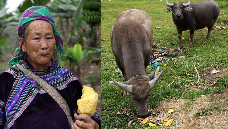 Trung Quốc đột nhiên ngừng thu mua, nông dân Việt ngậm ngùi đem dứa cho bò ăn