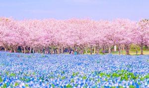 Mùa sakura Nhật Bản qua ống kính của một nhiếp ảnh gia