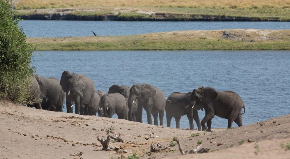 300 chú voi vây quanh xác của thủ lĩnh bày tỏ sự tiếc thương