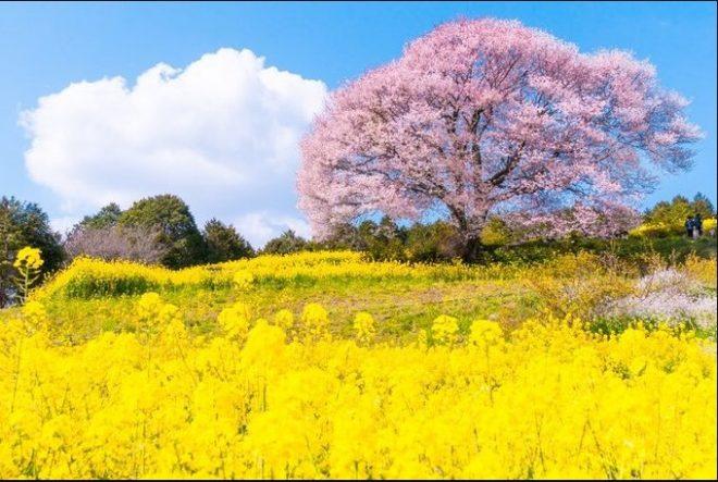 Mùa sakura Nhật Bản qua ống kính của một nhiếp ảnh gia.7