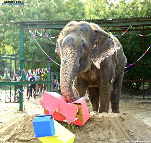 Chú voi Raju được giải cứu sau 50 năm xiềng xích ngày ấy bây giờ ra sao?