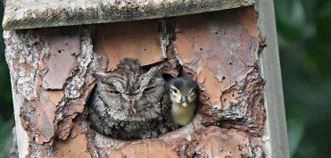 Khuôn mặt bẽ bàng của mẹ cú khi phát hiện quả trứng yêu quý lại nở ra một… con vịt