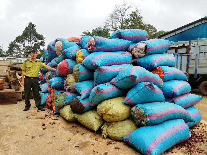 Gia Lai: Người dân đổ xô đi đẽo vỏ thông bán cho thương lái Trung Quốc. 3