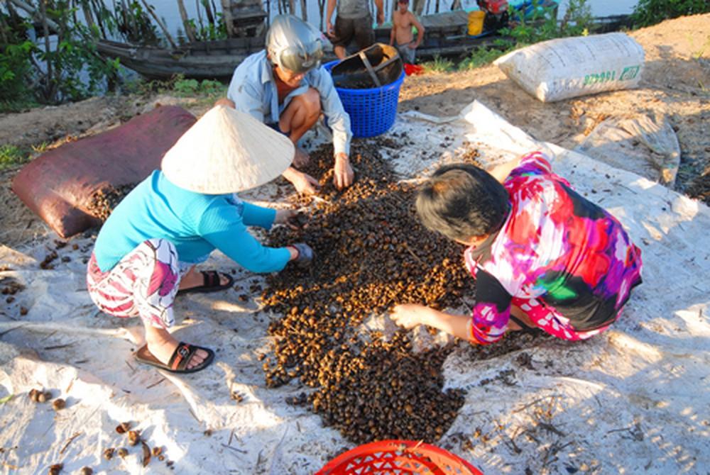 Gia Lai: Người dân đổ xô đi đẽo vỏ thông bán cho thương lái Trung Quốc. 6
