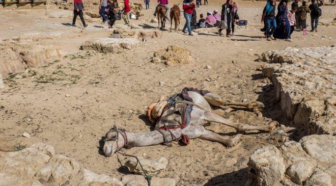 Số phận bi thảm của lạc đà ở Ai Cập: Chở khách 20h/ngày, già chết bị xẻ thịt. 1