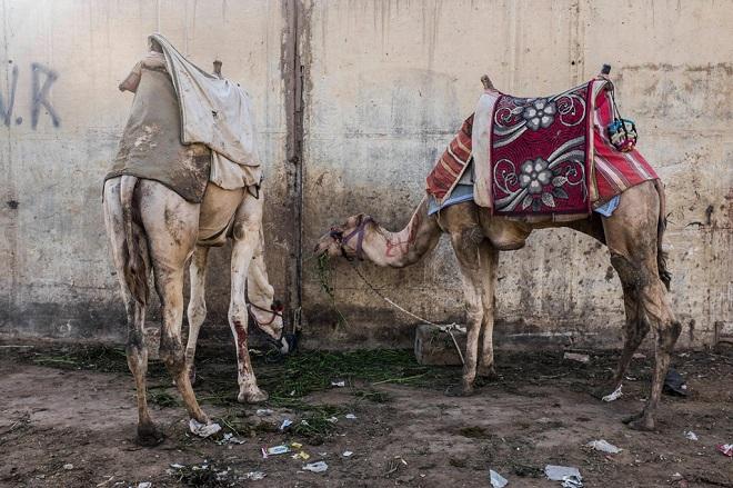 Những con lạc đà bị buộc gần kim tự tháp vào cuối ngày làm việc.