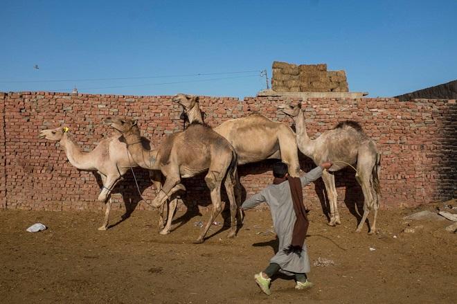 Lạc đà ở chợ phải đứng trên ba chân, chân còn lại bị trói để ngăn chúng chạy trốn. Người chăn gia súc dùng thanh tre đập vào chúng để giữ chúng thẳng hàng. (Ảnh qua Zing)