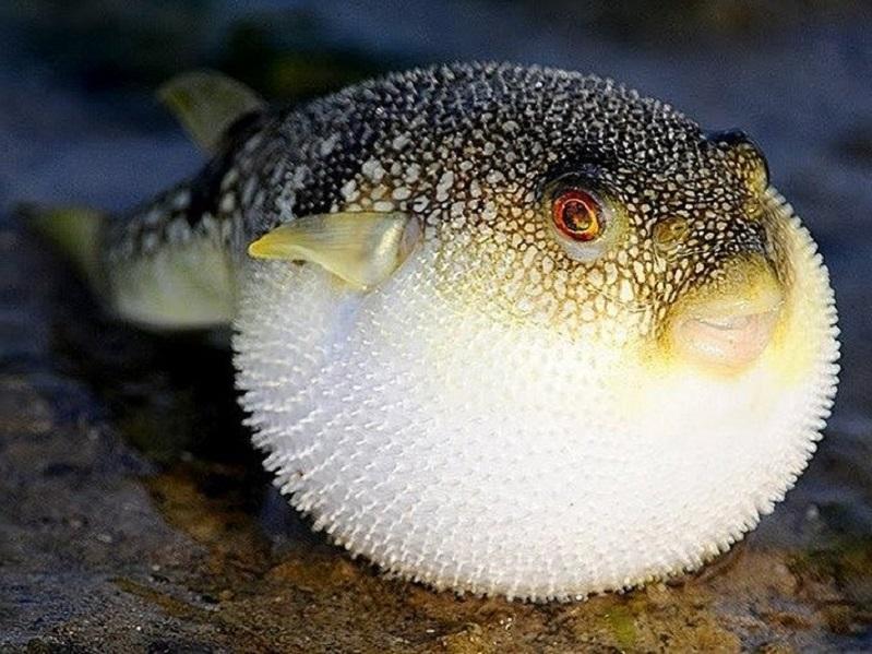 Hiểu lầm lớn về cách loài cá nóc phình lên như quả bóng