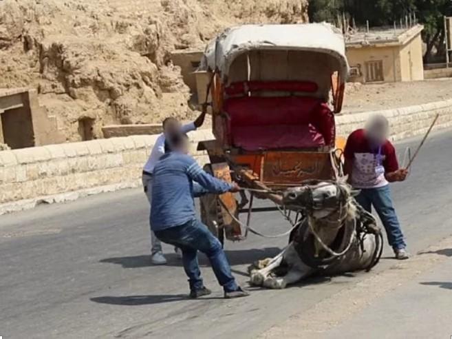 Số phận bi thảm của lạc đà ở Ai Cập: Chở khách 20h/ngày, già chết bị xẻ thịt.9