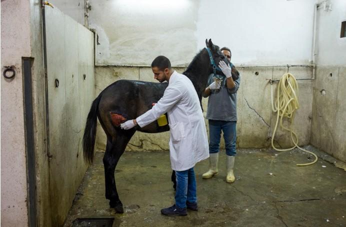 Bác sĩ thú y chăm sóc vết thương cho một con ngựa tại Bệnh viện Động vật Brooke ở Ai Cập