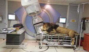Sư tử Nam Phi được xạ trị để chữa ung thư