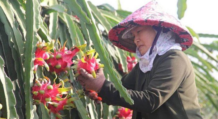 Nông sản Việt tiếp tục bị Nhật trả lại do nhiễm hóa chất vượt mức. 2