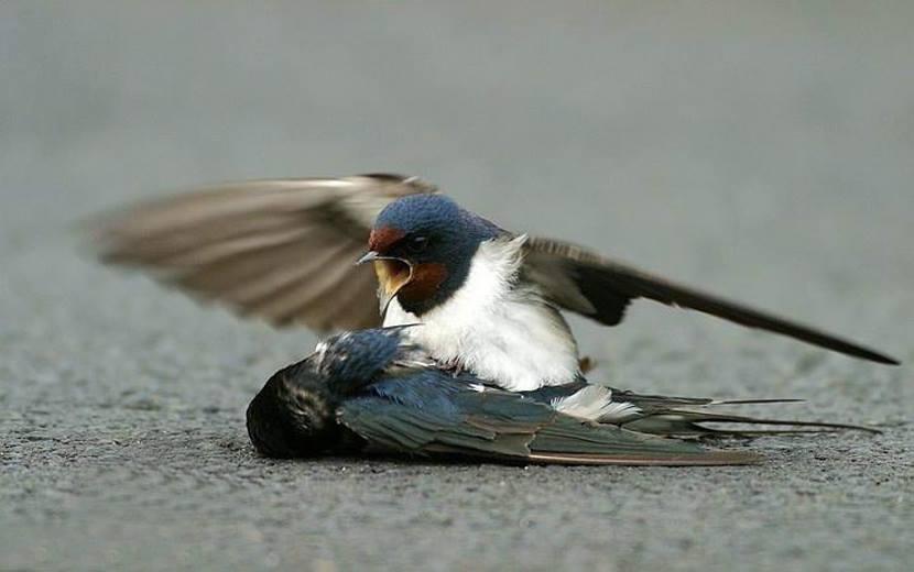 Sự trung trinh của chim nhạn: Tình yêu đích thực, sống chết chỉ một bạn đời - ảnh 2