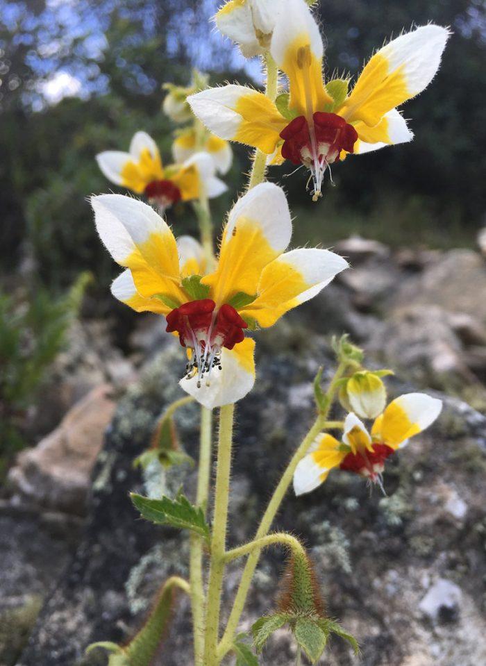 Nghiên cứu mới: Thực vật Loasaceae có thể ghi nhớ khi 'người thụ phấn' ghé thăm.5