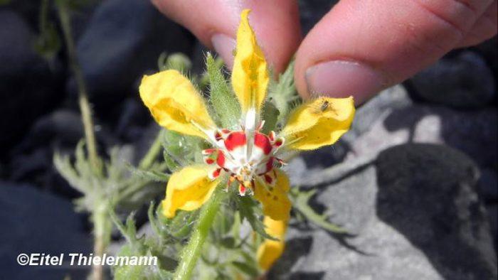 Thực vật Loasaceae có thể ghi nhớ khi 'người thụ phấn' ghé thăm