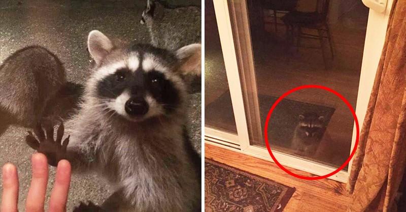 Hóa ra là một chú gấu mèo đã gõ cửa nhà mình.