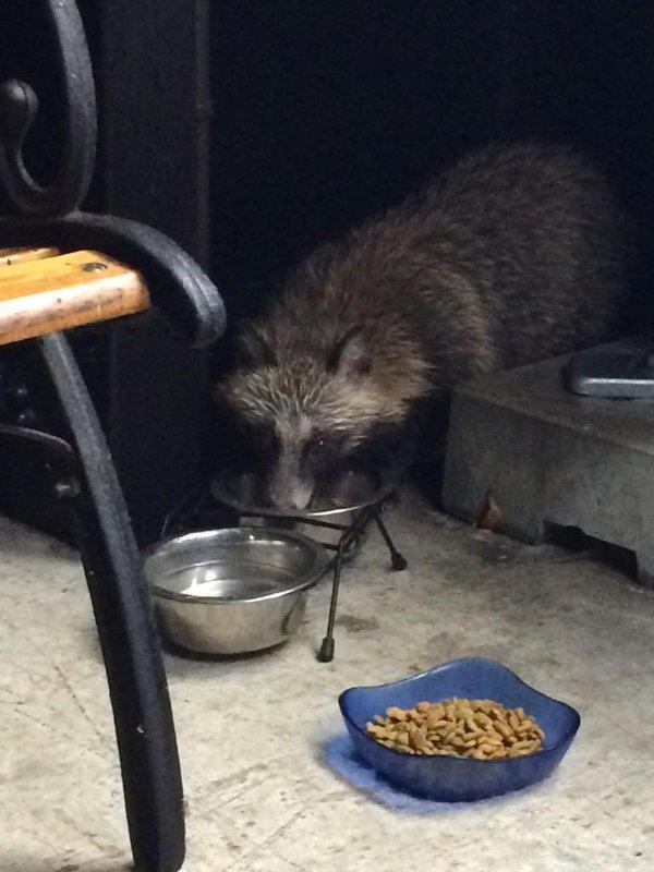 Chú gấu mèo bẽn lẽn xà vào tô thức ăn.