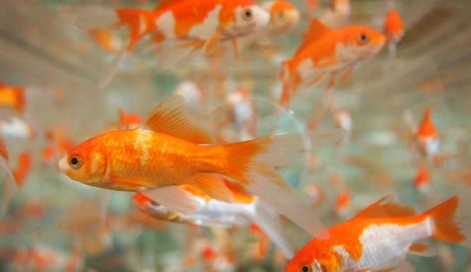 Microsoft công bố một nghiên cứu cho thấy khoảng thời gian tập trung chú ý của con người hiện nay đã giảm xuống còn 8 giây, ngắn hơn 1 giây so với cá vàng. (Ảnh: qua pixabay/Muff 1.0 )
