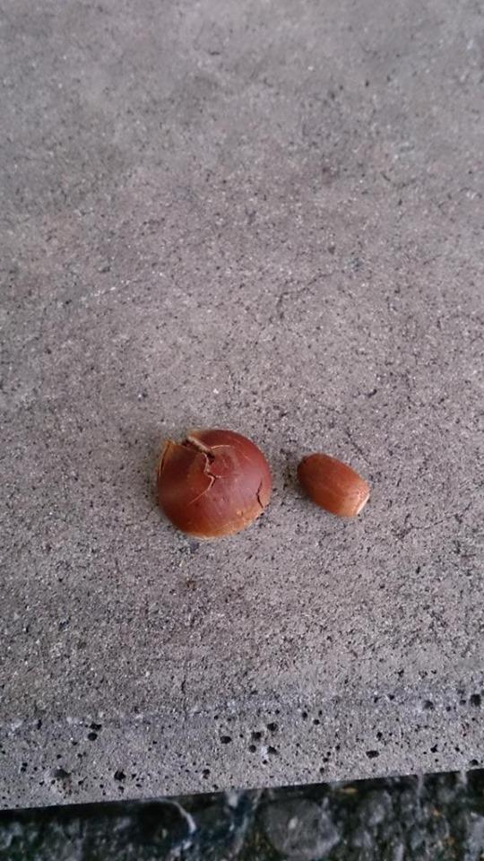 Chú gấu mèo đặt hạt dẻ đặt trước cổng nhà.