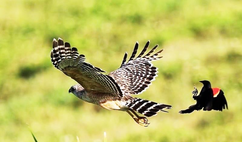 Diều hâu vốn là có cánh, có thể bay rất cao rất xa. (Ảnh: Adobe stock)