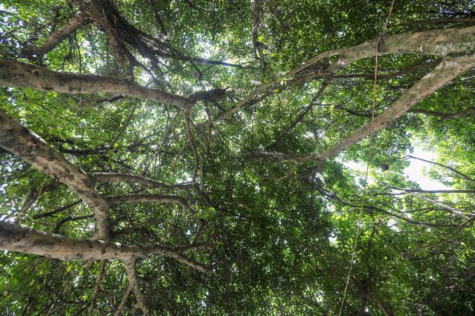 Những tán lá cây si xanh rì đan xen nhau